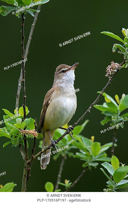 Great reed warbler (Acrocephalus arundinaceus) male perched in tree in spring