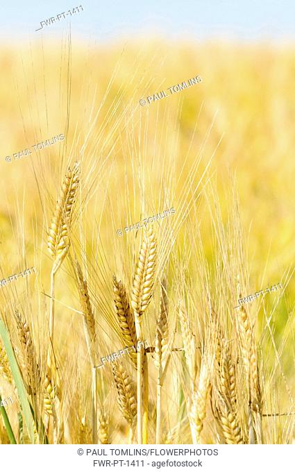 Barley, Grain crop growing in field with bus sky above