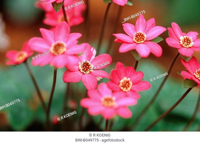 hepatica liverleaf, American liverwort Hepatica japonica 'Tamamushi', Hepatica japonica Tamamushi, blooming, cultivar Tamamushi