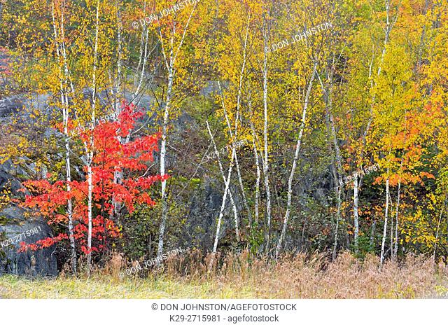 Autumn colour in the understory of a birch woodland. Greater Sudbury, Ontario, Canada