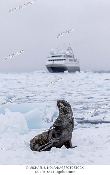 The Lindblad Expeditions ship National Geographic Orion with an Antarctic fur seal on sea ice in the Weddell Sea, Antarctica