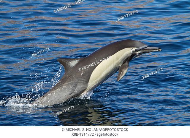Long-beaked common dolphin pod Delphinus capensis encountered off Isla del Carmen within the Parque Nacional Bahia de Loreto Loreto Bay National Park in the...