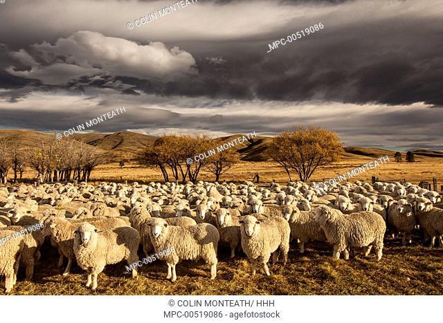 Merino Sheep (Ovis aries) flock, Central Otago, New Zealand
