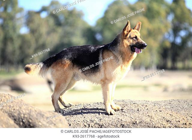 German Shepherd dog, Caceres, Extremadura, Spain