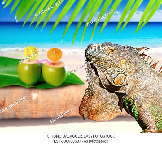 Mexico iguana in coconut Caribbean beach tropical turquoiuse sea