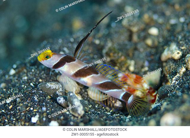 Black-rayed Shrimpgoby (Stonogobiops nematodes), standing guard by hole entrance on black sand with extended dorsal spine with Randall's Snapping Shrimp...
