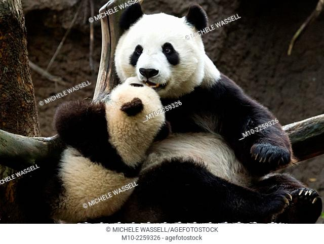 A Giant Panda mom and seven month old cub spending some quality time together up in the tree