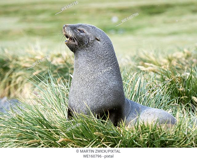 Antarctic Fur Seal (Arctocephalus gazella). Bull in typical Tussock Grass habitat. Antarctica, Subantarctica, South Georgia, October