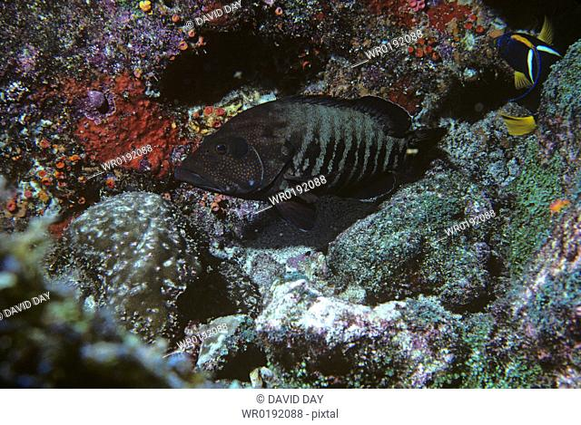 Panamic graysby Epinephalus panamensis Galapagos Islands, Ecuador