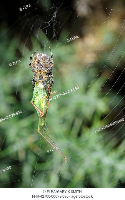 Garden Orb Spider Araneus diadematus adult, with bush-cricket prey caught in web, Norfolk, England, september