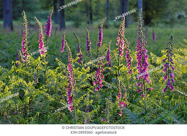 Common Foxgloves bed in a clearing in the Forest of Rambouillet, Haute Vallee de Chevreuse Regional Natural Park, Department of Yvelines, Ile-de-France region