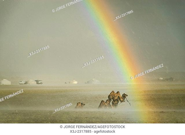 Camels under the rain with rainbow, Gobi desert, Mongolia
