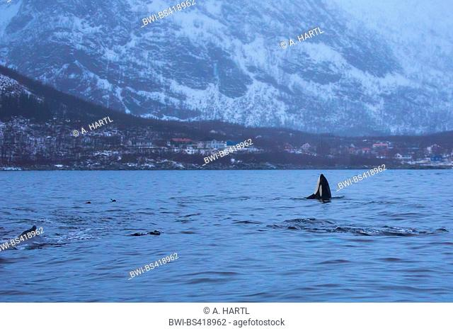 orca, great killer whale, grampus (Orcinus orca), spy hop, male exploring the environment out of the water, Norway, Troms, Bergsfjorden auf Senja