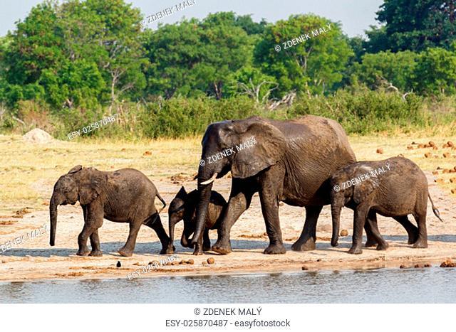 African elephants drinking at a muddy waterhole, Hwankee national Park, Botswana. True wildlife photography