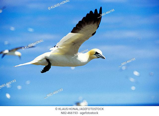 Gannet (Sula bassana) flying over the colony