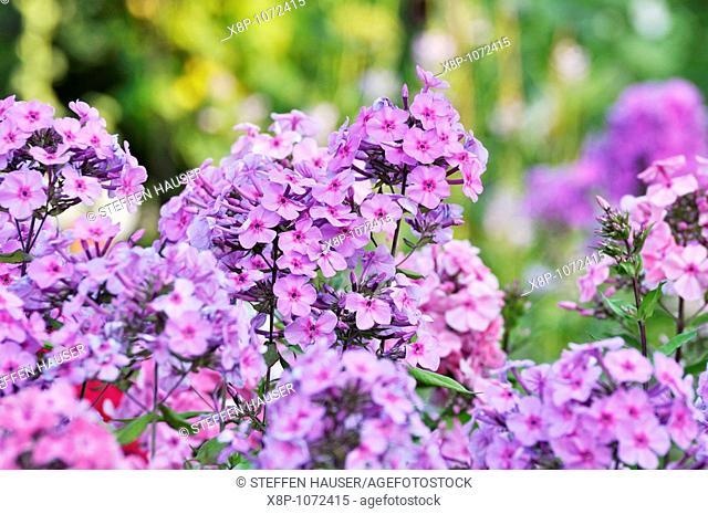 Garden phlox Phlox paniculata