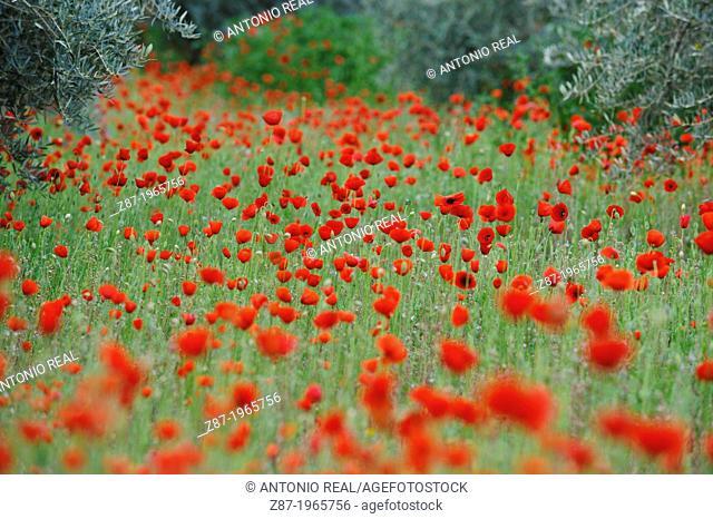 Poppies (Papaver rhoeas). Valle del Río Tus. Parque Natural de los Calares del Mundo y de la Sima. Yeste. Province of Albacete. Spain