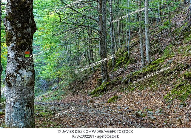 Beechwood. Puente Ra Path. Sierra Cebollera Natural Park. Villoslada de Cameros. La Rioja. Spain