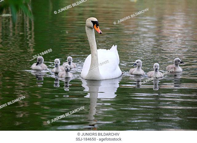 Mute Swan (Cygnus olor) with two young on water. Germany , Hoeckerschwan mit Jungtieren
