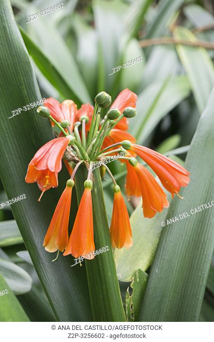 Colorful Clivia Miniata in the garden Tenerife Spain