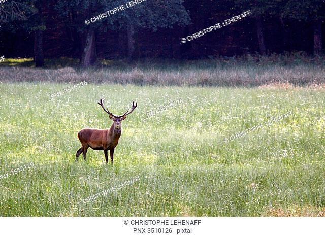 France, Burgundy, Yonne. Area of Saint Fargeau and Boutissaint. Slab season. Stag in a meadow