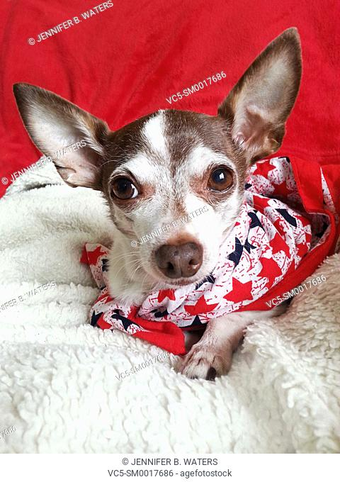 Portrait of an adult male chihuahua indoors, wearing a bandanna