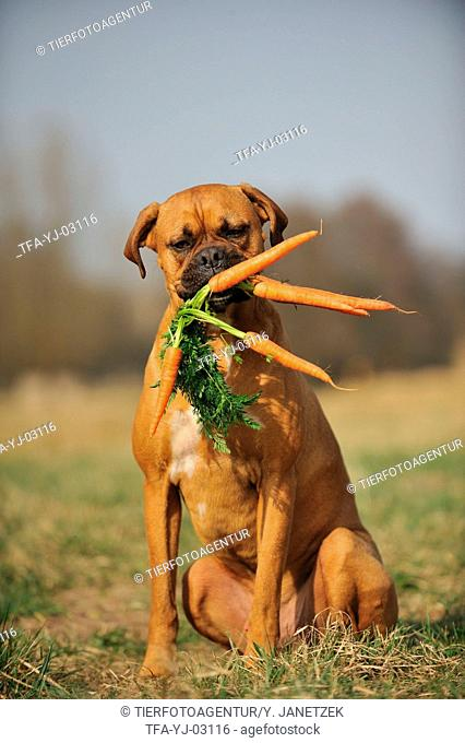 German Boxer with carrots