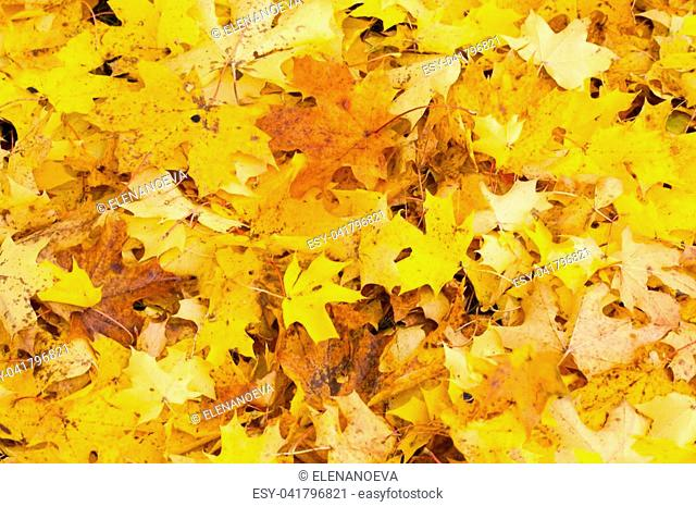 Beautiful autumn park with yellow maple leaves