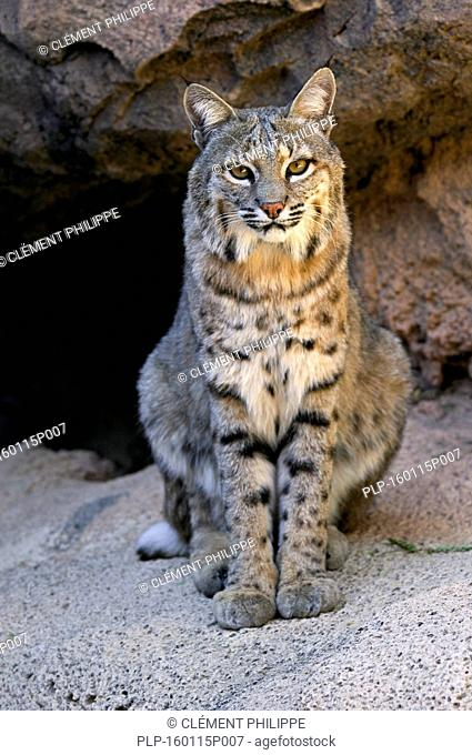 Bobcat (Lynx rufus / Felis rufus) sitting at cave entrance, native to southern Canada, North America and Mexico