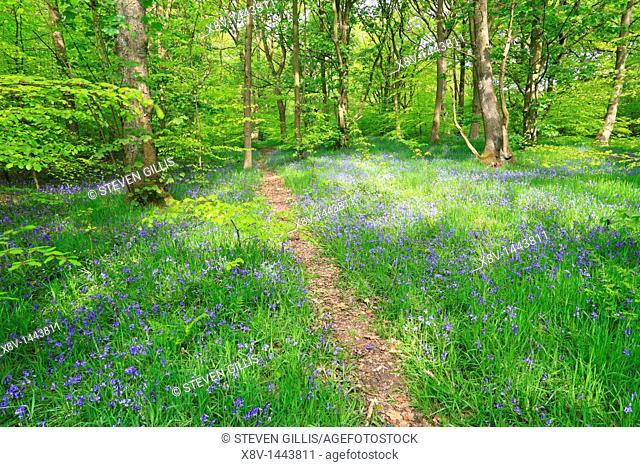Bluebells in Judy Woods, Wyke, Bradford, West Yorkshire, England, UK