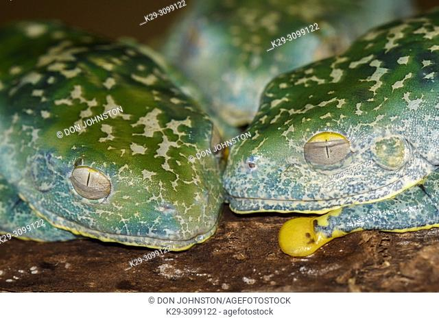 Fringed Leaf Frog (Cruziohyla craspedopus), Understory Enterprises, Captive raised, Native to: Amazonian lowlands in Brazil, Colombia, Ecuador, and Peru