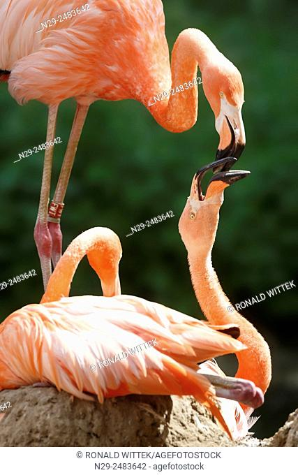 American flamingo, red flamingo, (Phoenicopterus ruber), captive, Germany