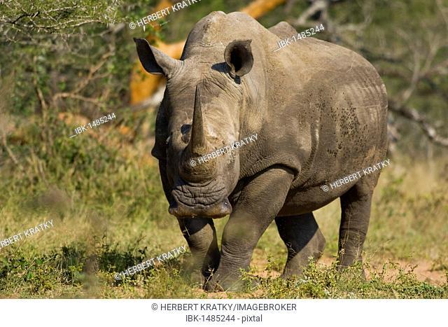 White Rhinoceros or Square-lipped rhinoceros (Ceratotherium simum), St. Lucia Wetland National Park, South Africa, Africa