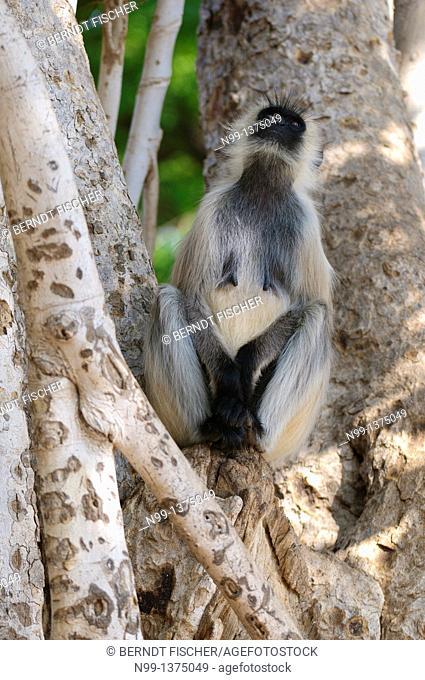 Hanuman langur Presbytis entellus, Common langur, Grey langur, adult sitting in tree, Mandore Garden, Jodhpur, Rajasthan, India