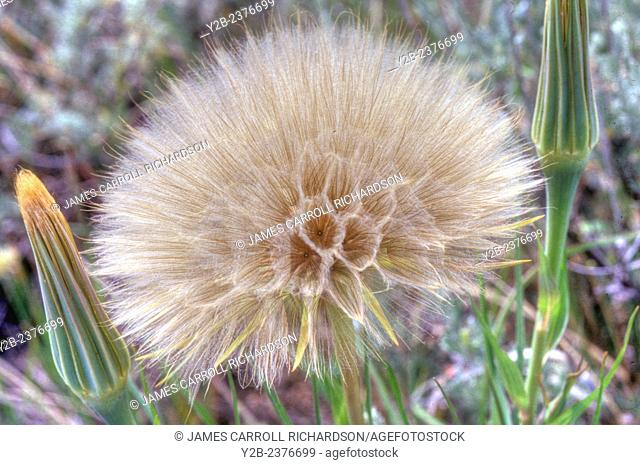 Oyster Plant has scientific name of Tragopogon porrifolius and is a plant cultivated for its ornamental flower, edible root, and herbal properties