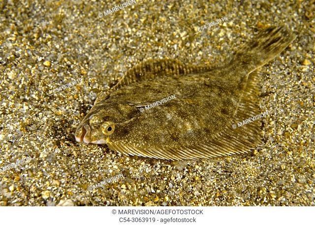 Freshwater Rivers. Flounder. White fluke (Platichthys flesus). Miño river. Galicia. Spain. Europe