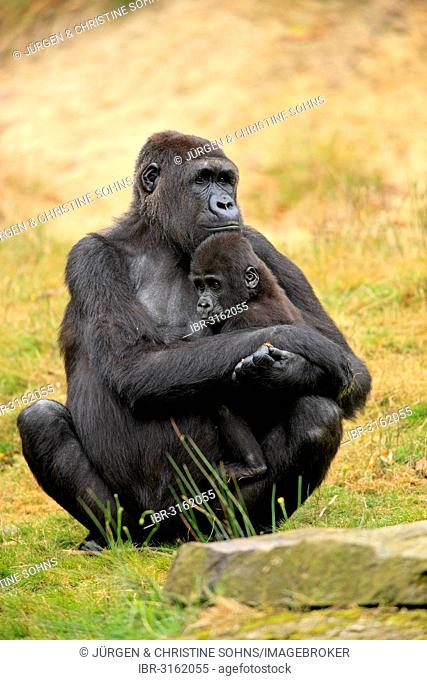 Western Lowland Gorilla (Gorilla gorilla gorilla), female with an infant, native to Africa, captive, Apeldoorn, Gelderland, The Netherlands