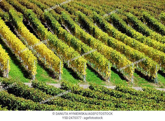 Europe, Switzerland, Canton Vaud, La Côte, Morges district, Féchy vineyards, early autumn just before harvest