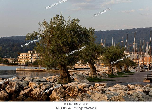 Olive trees at the lakeside promenade in Salo, Lake Garda, lake, Italy