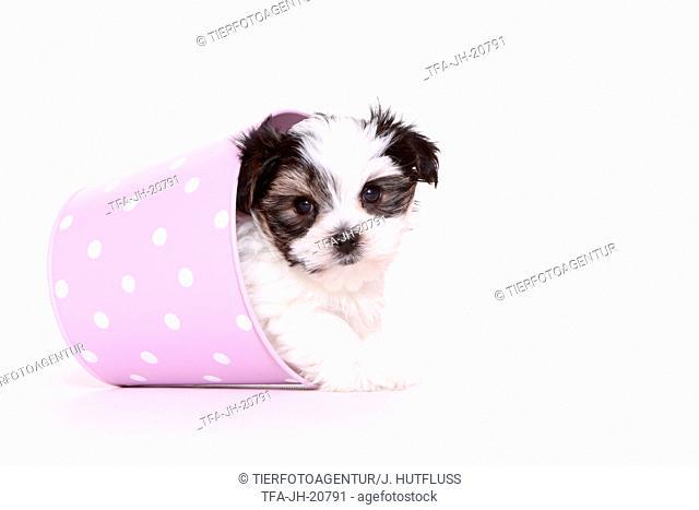 Biewer-Maltese-Mongrel Puppy