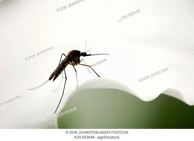 Mosquito resting on trillium flower. Manitoulin Island, Ontario, Canada