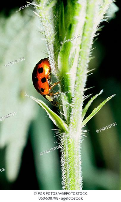 Sevenspotted Lady Beetle, Coccinella septempunctata, Coleoptera: Coccinellidae. Bonn. Germany