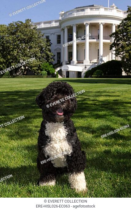 The official portrait of the Obama family dog 'Bo' a Portuguese water dog on the South Lawn of the White House., Photo by: Everett CollectionBSLOC-2011-7-9