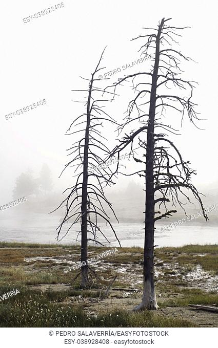 Trees without leaves between fog, Yellowstone National Park, United States