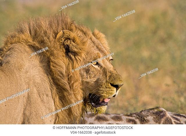 Portrait of a male lion Panthera leo at a giraffe kill in the Okavango Delta, Botswana, Africa