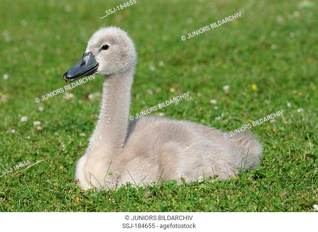 Mute Swan (Cygnus olor). Cygnet resting on grass. Germany