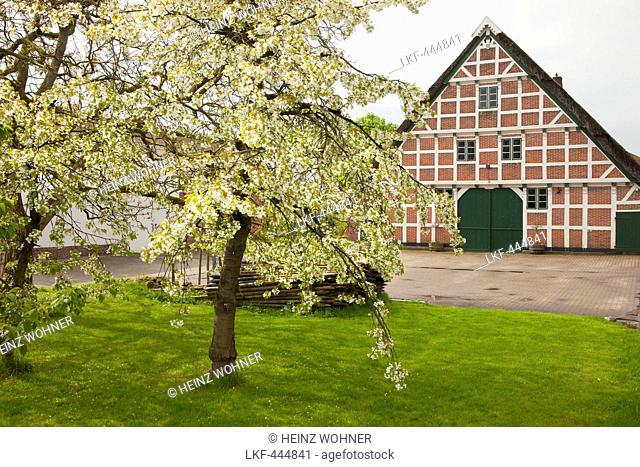 Blossoming trees in front of a half-timbered house with thatched roof, near Jork, Altes Land, Lower Saxony, Germany