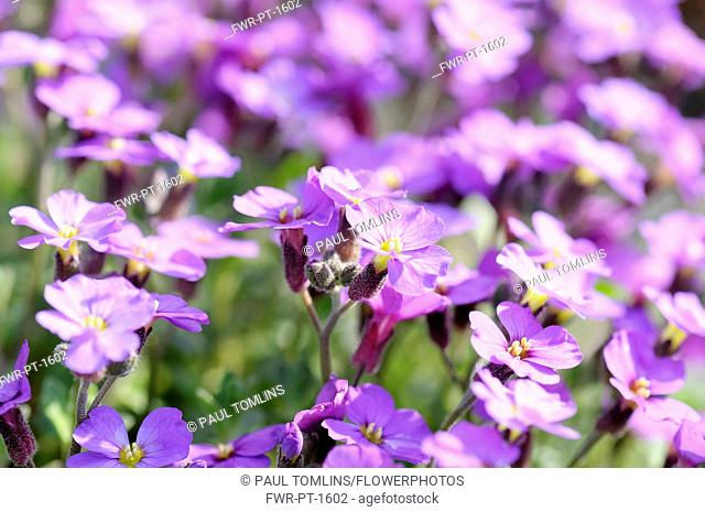 Aubrieta 'Doctor Mules', Mass of purple coloured flowers growing outdoor