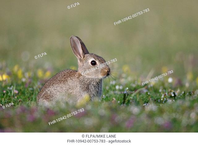 European Rabbit (Oryctolagus cuniculus) young, sitting amongst wildflowers, Isle of Mull, Inner Hebrides, Scotland, July