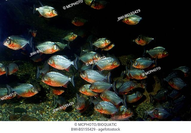 convex-headed piranha, Natterer's piranha, red piranha, red-bellied piranha (Serrasalmus nattereri, Pygocentrus nattereri, Rooseveltiella nattereri), school
